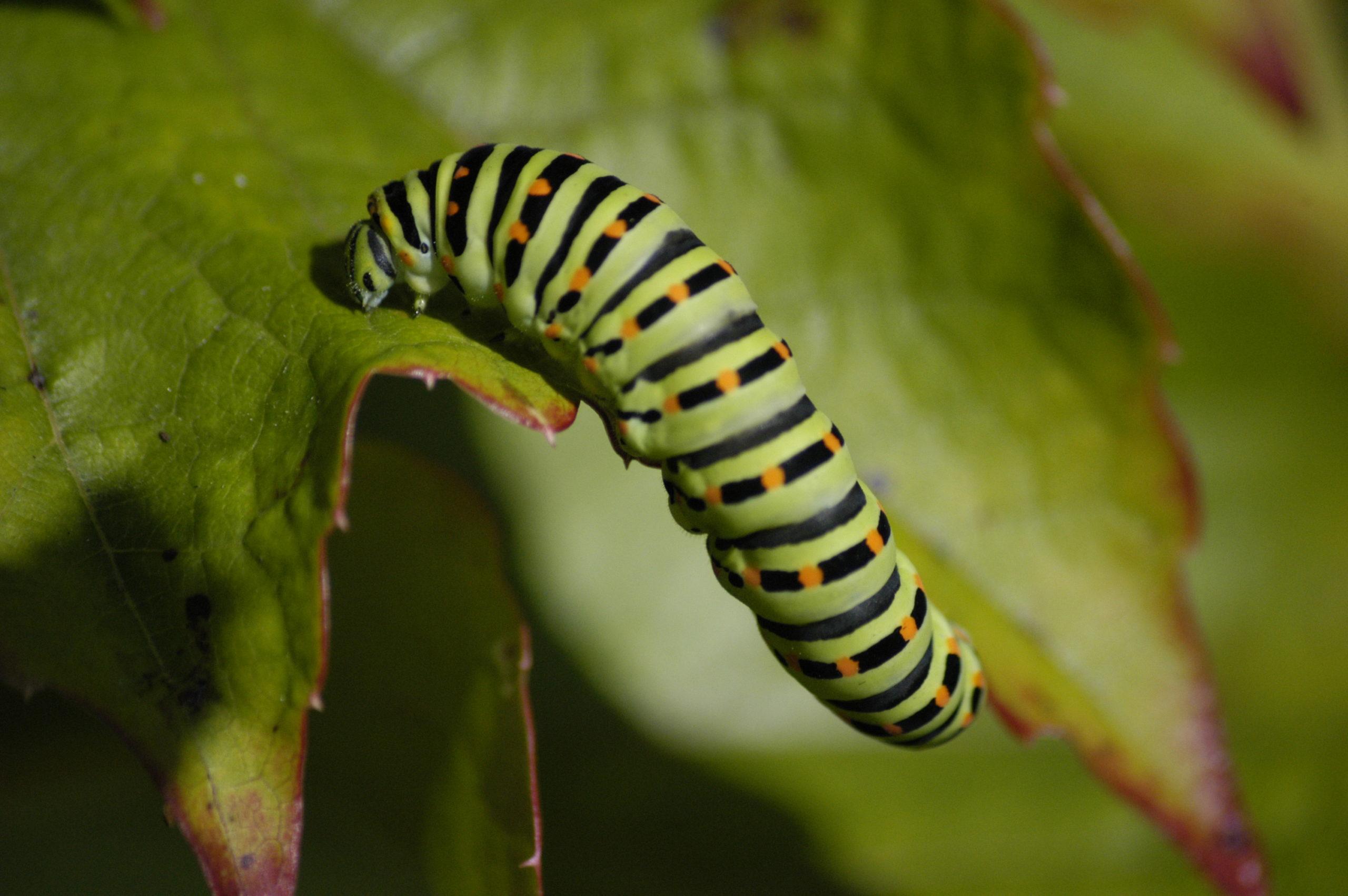 caterpillar infestations on cannabis
